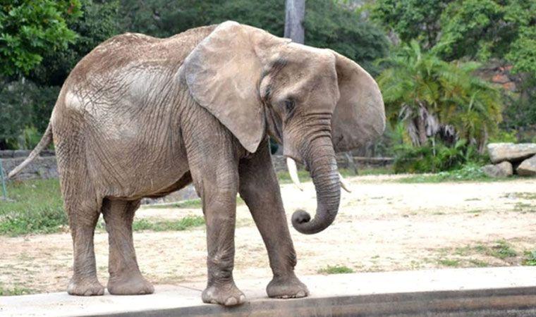 Muere Ruperta, icónica elefanta de zoológico caraqueño