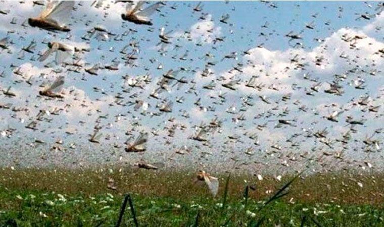 Alerta por invasión de langostas en la región
