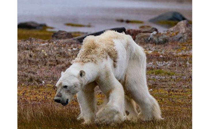 Oso polar moribundo por calentamiento global — Impactante